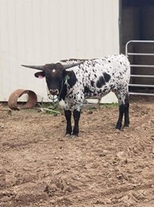 2018 Huff and Puff Bull