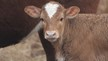 2019 Goody Two Shoes Heifer
